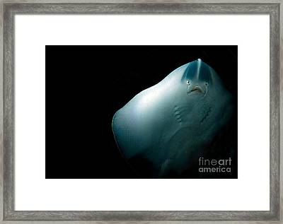 Stingray Framed Print