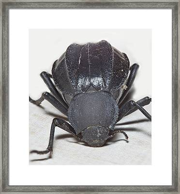 Stink Bug Framed Print by Dennis Hofelich