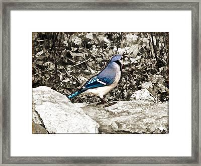 Stone Blue Jay Framed Print by Debra     Vatalaro