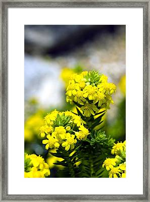 Stonecrop (sedum Middendorffianum) Framed Print by Dr Keith Wheeler