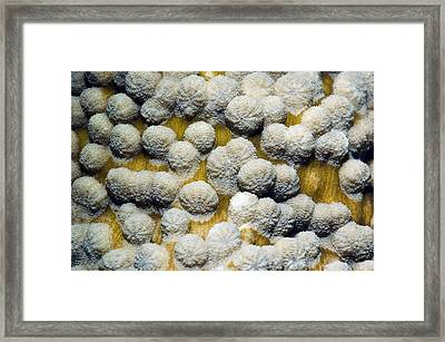 Stony Coral Framed Print by Georgette Douwma