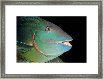 Stoplight Parrotfish Framed Print by Clay Coleman