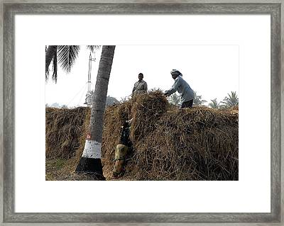 Storing The Rice Grass Framed Print by Johnson Moya