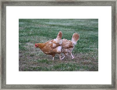Strange Chicken Framed Print