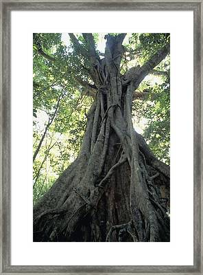 Strangler Fig, Low Angle View Framed Print by Axiom Photographic