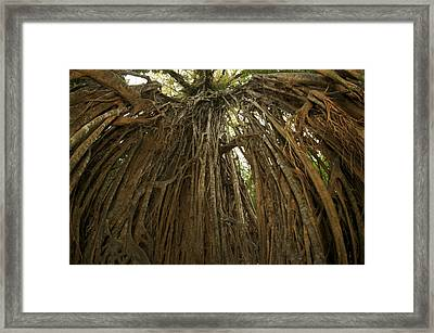 Strangler Fig Tree, Ficus Virens, Known Framed Print by Tim Laman