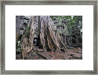 Strangler Fig Tree Roots Covering Temple Framed Print by Sami Sarkis