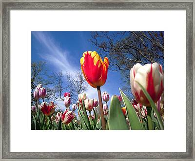 Strato Cirrus Clouds Greet The Tulips  Framed Print by Don Struke