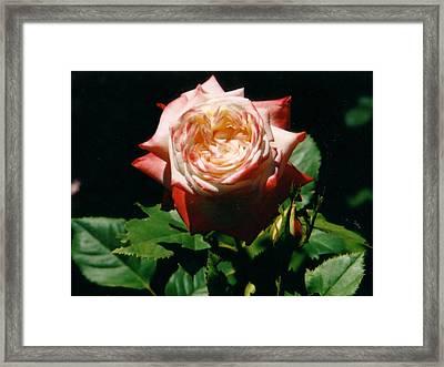 Strawberry Rose Framed Print