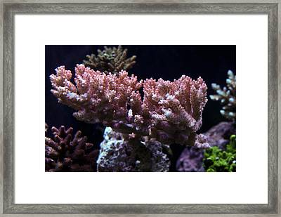 Strawberry Shortake Acropora Coral Framed Print