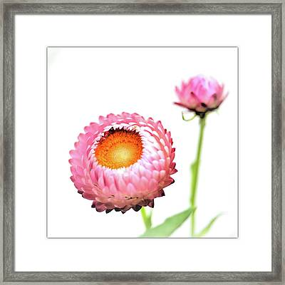 Strawflower Framed Print by I love Photo and Apple.
