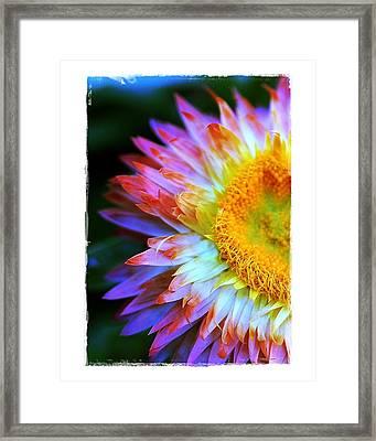 Strawflower Framed Print by Judi Bagwell