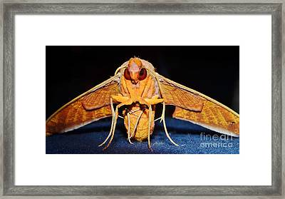 Streaked Sphinx Moth Framed Print by Lynda Dawson-Youngclaus