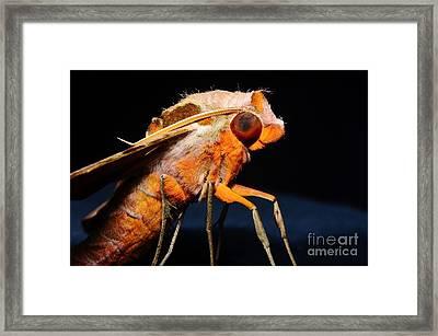 Streaked Sphinx Moth Profile Framed Print by Lynda Dawson-Youngclaus