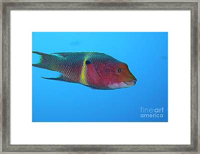 Streamer Hogfish Or Mexican Hogfish Framed Print by Sami Sarkis