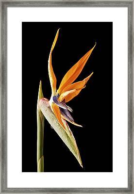 Strelitzia Framed Print by Fiona Messenger