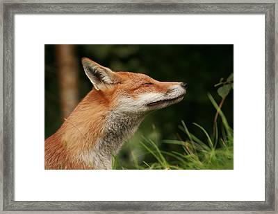 Stretching Fox Framed Print by Jacqui Collett