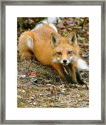 Stretching Fox Framed Print by Rick Frost