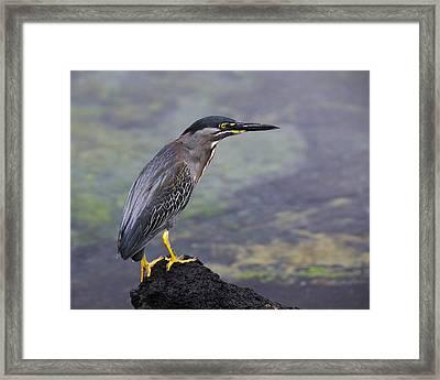 Striated Heron Framed Print
