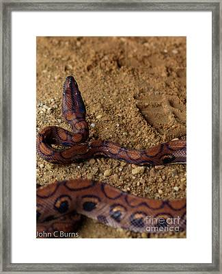 Framed Print featuring the photograph Striking Boa by John Burns