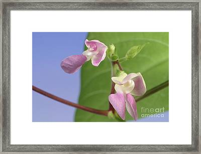 String Bean Flower Framed Print