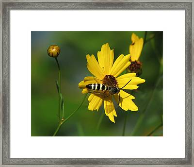 Striped Bee On Wildflower Framed Print