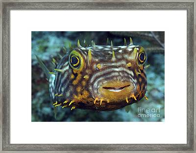 Striped Burrfish On Caribbean Reef Framed Print