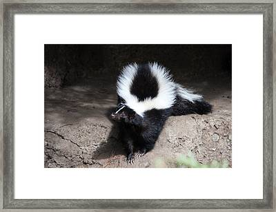Striped Skunk - 0002 Framed Print