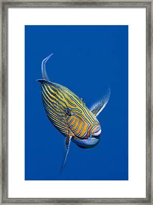 Striped Surgeonfish Framed Print by Jones/Shimlock-Secret Sea Visions