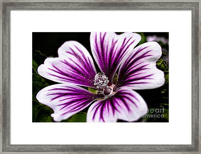 Stripped Blossom Framed Print by Larry Carr