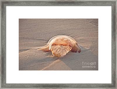 Stromolophus Jellyfish Framed Print