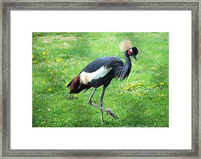 Strut Your Stuff Framed Print by Kathy Gibbons