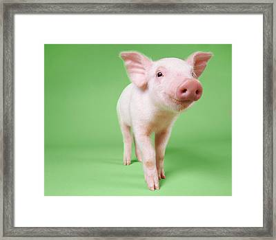 Studio Cut Out Of A Piglet Standing Framed Print by Digital Vision.