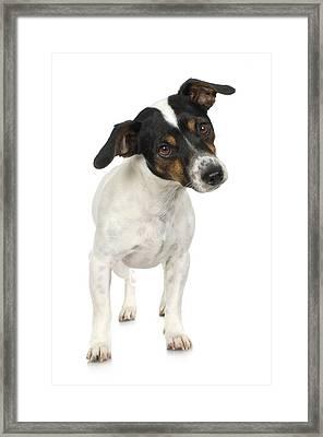 Studio Portrait Of Smooth Fox Terrier Puppy Framed Print by Jupiterimages