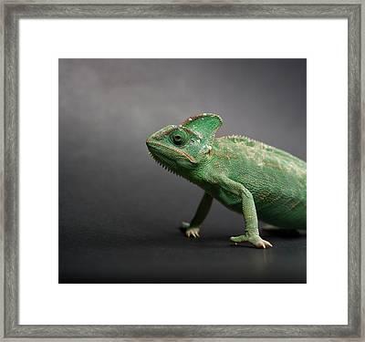 Studio Shot Of Chameleon Framed Print by Sarune Zurba