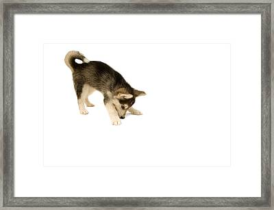 Studio Shot Of Cute And Curious Husky Puppy Framed Print by Jupiterimages