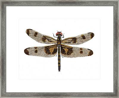 Framed Print featuring the painting Study Of A Banded Pennant Dragonfly by Thom Glace