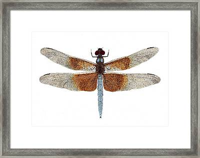 Framed Print featuring the painting Study Of A Female Widow Skimmer Dragonfly by Thom Glace