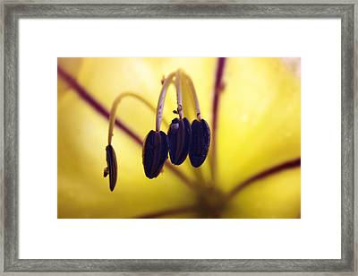 Study Of A Golden Cup Flower 4 Framed Print by Jennifer Bright