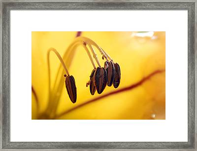 Study Of A Golden Cup Flower 7 Framed Print by Jennifer Bright