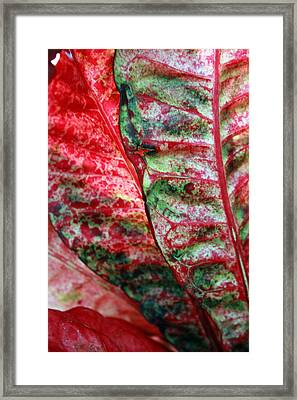 Study Of The Croton 1 Framed Print