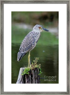 Stumped Night Heron Framed Print by Benanne Stiens