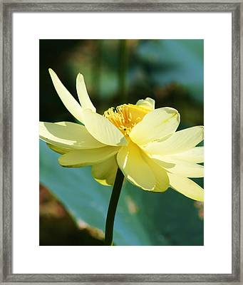 Stunning Water Lily Framed Print by Bruce Bley