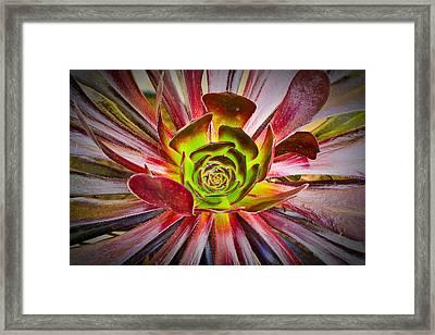 Succulent Aeonium Framed Print