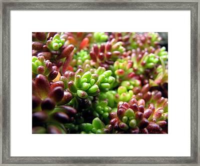 Succulents For A Garden Path Framed Print