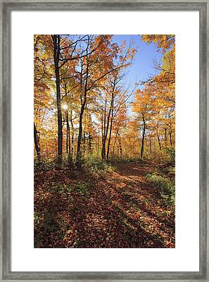 Sugar Maple Trees In Fall Framed Print by Yves Marcoux