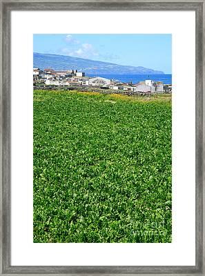 Sugarbeet Field Framed Print by Gaspar Avila