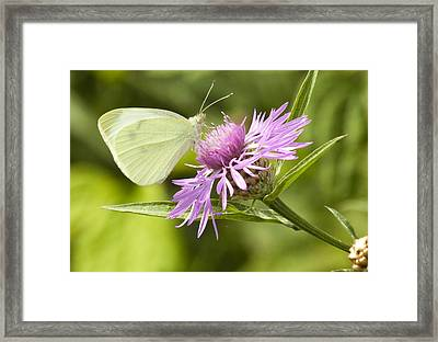 Framed Print featuring the photograph Sulfer On Wildflower by Darleen Stry