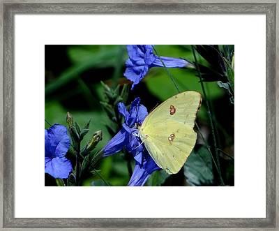 Sulphur Butterfly On Wildflower Framed Print by Betty Berard