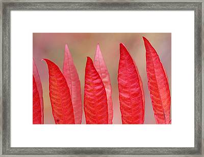 Sumac Leaves Rhus Coriaria In Fall Framed Print by Mike Grandmailson